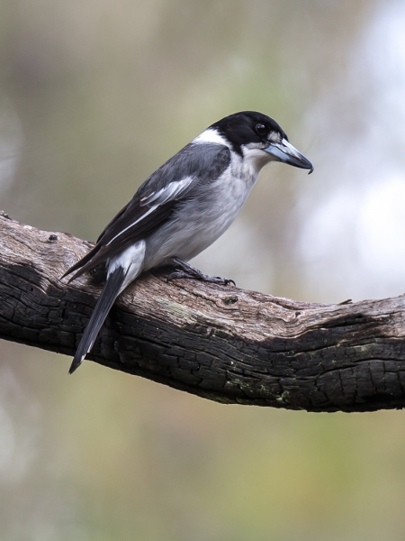 Grey Butcherbird (Roger Williams)