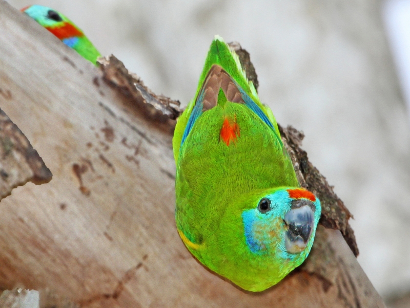 Double-eyed Fig-Parrot (Julie Sarna)