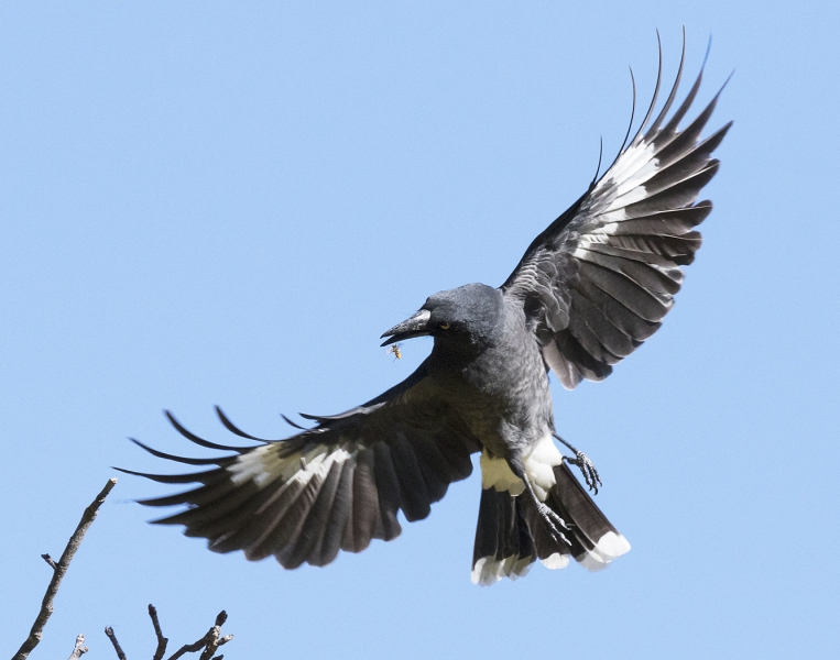 Pied Currawong - Phil Marley