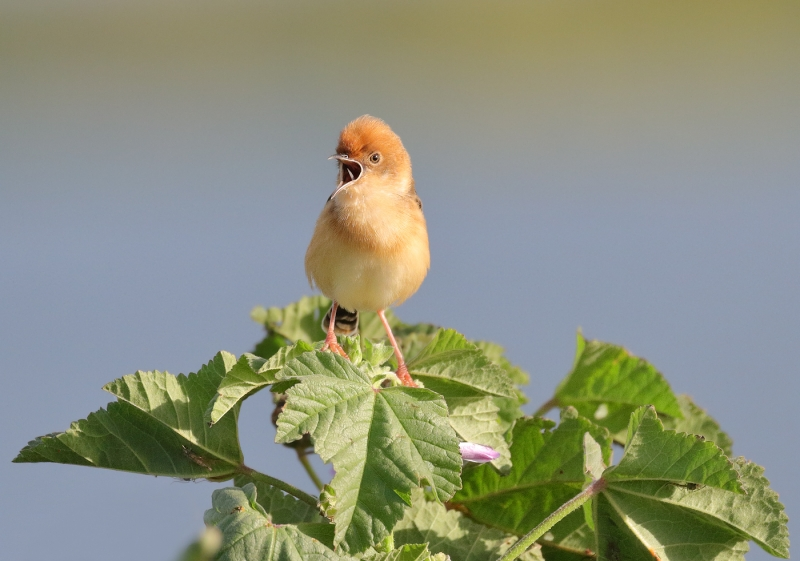 Golden-headed Cisticola – Kathy Zonnevylle
