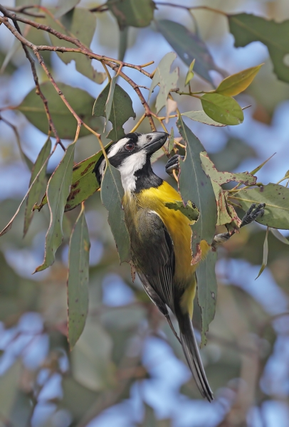 Crested Shrike-tit – Sandy Castle