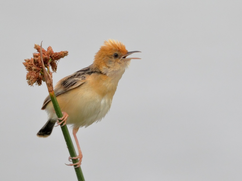 Golden-headed Cisticola
