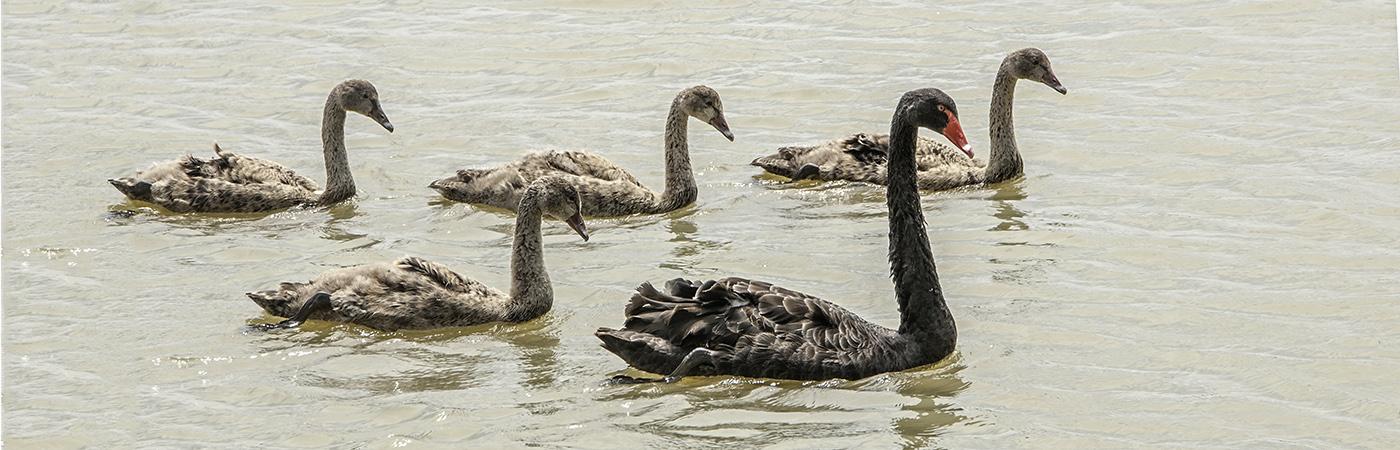 Black Swan (Image ID 19439)
