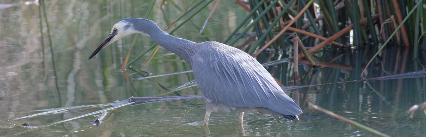 White-faced Heron (Image ID 20074)