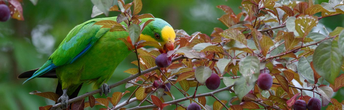 Superb Parrot (Image ID 19930)