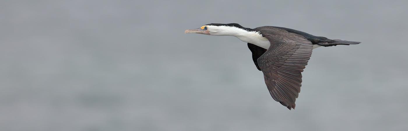 Great Pied Cormorant (Image ID 20176)