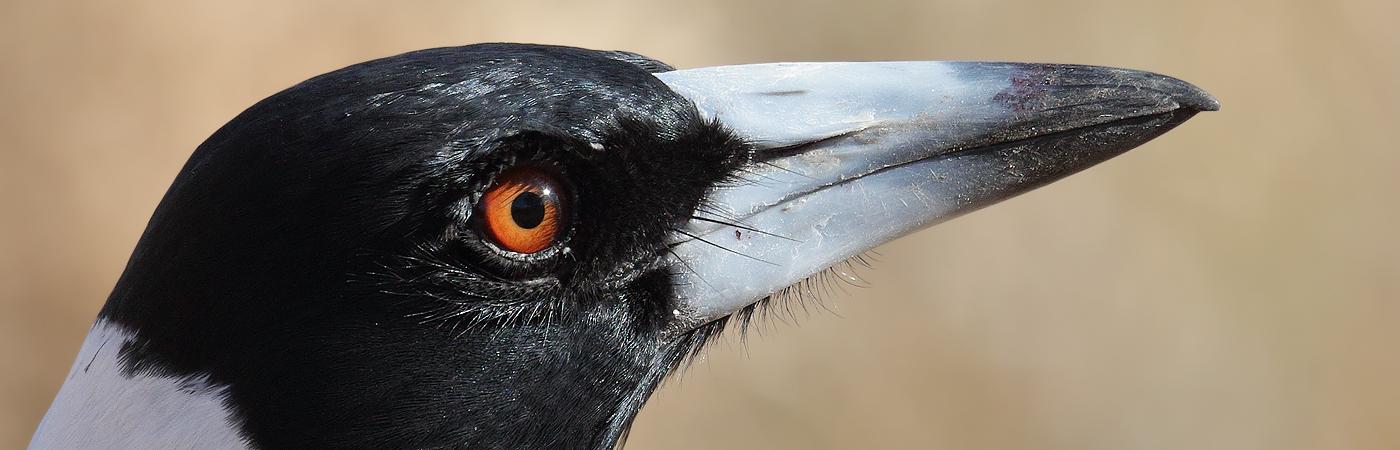 Australian Magpie (Image ID 20624)