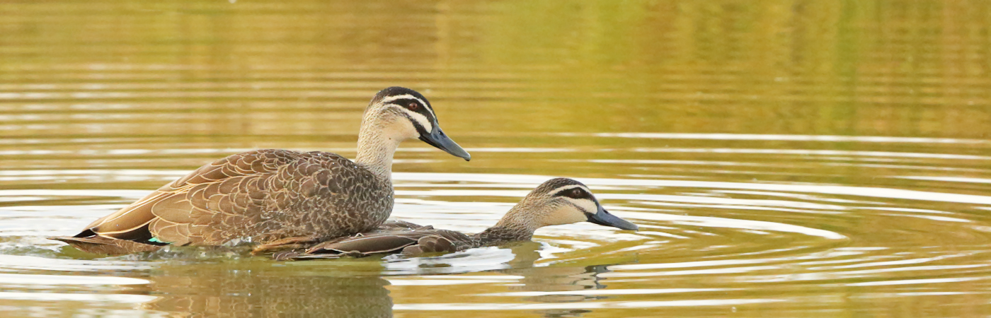 Pacific Black Duck (Image ID 20221)
