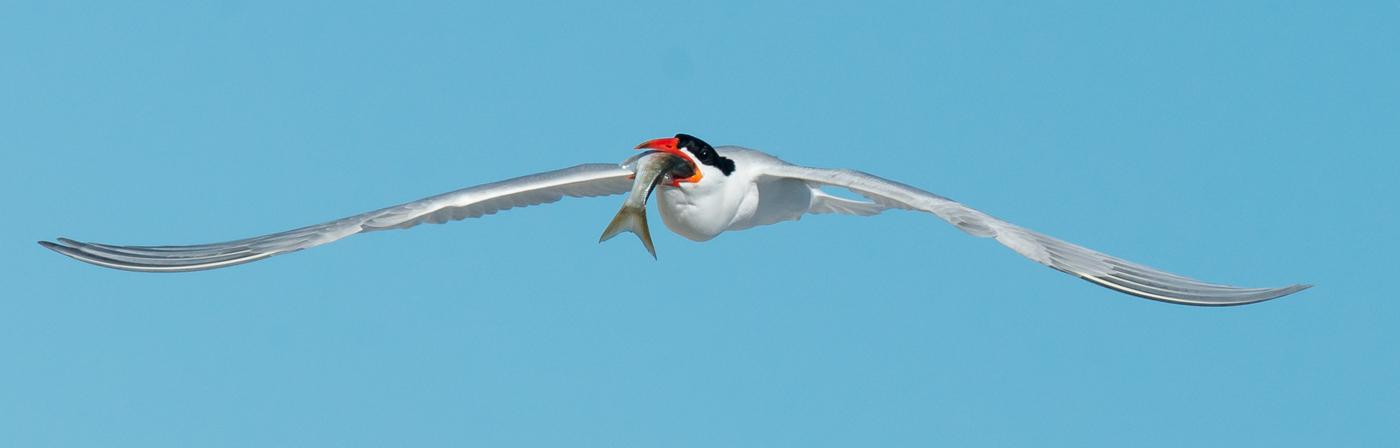 Caspian Tern (Image ID 20318)