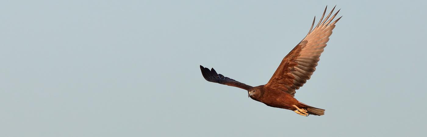 Swamp Harrier (Image ID 20269)