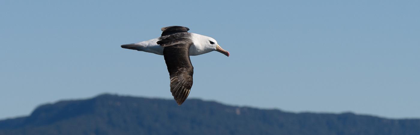 Black-browed Albatross (Image ID 21171)