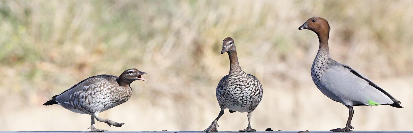 Australian Wood Duck (Image ID 21121)