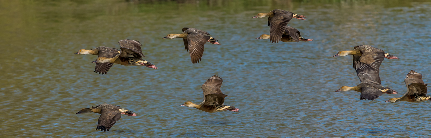 Plumed Whistling-Duck (Image ID 22046)