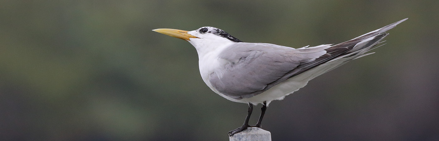 Greater Crested Tern (Image ID 21848)