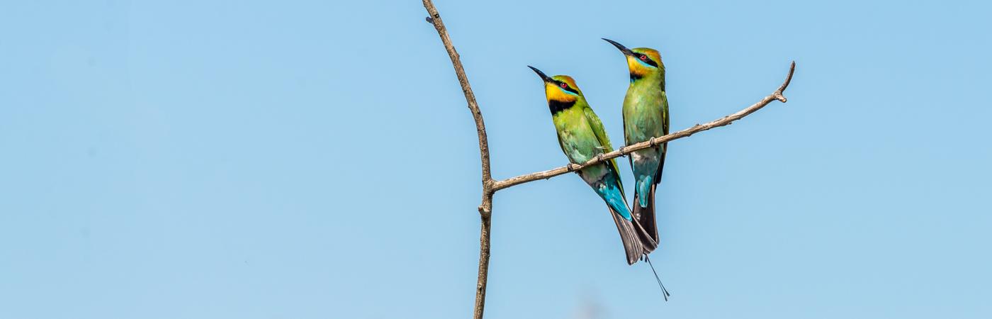 Rainbow Bee-eater (Image ID 23088)