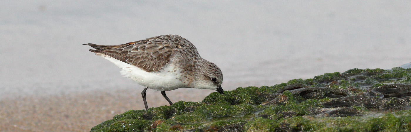 Red-necked Stint (Image ID 23008)