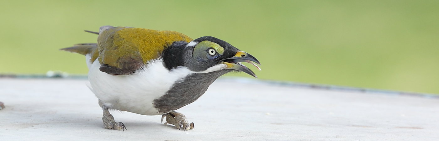 Blue-faced Honeyeater complex (Image ID 23442)