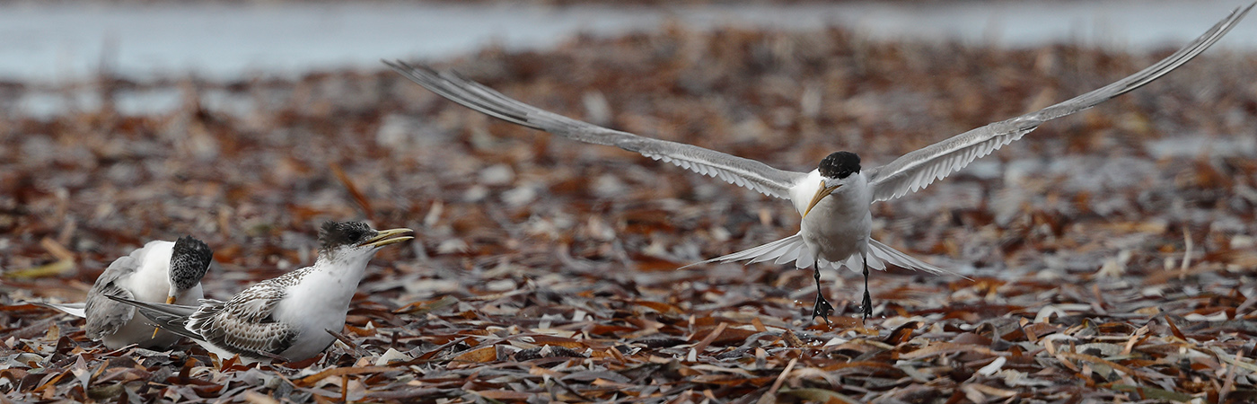 Greater Crested Tern (Image ID 24179)