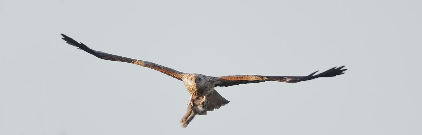 Whistling Kite (Image ID 25808)