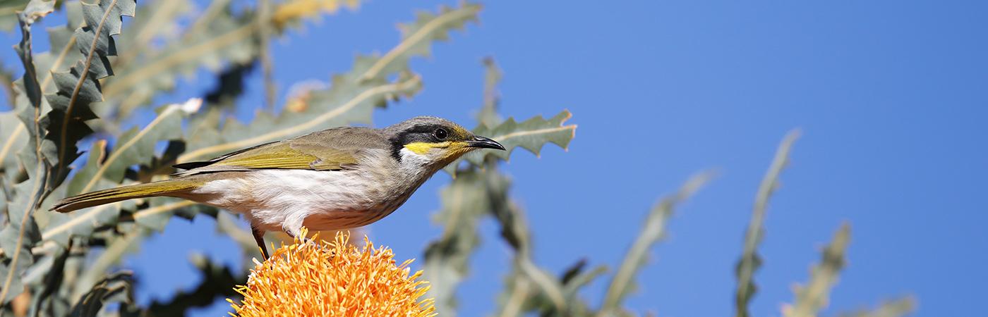 Singing Honeyeater (Image ID 26277)