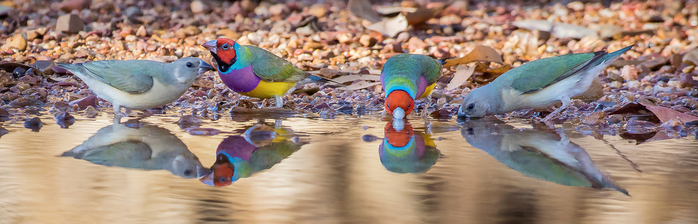 Gouldian Finch (Image ID 27844)