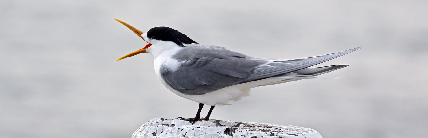 Greater Crested Tern (Image ID 28119)