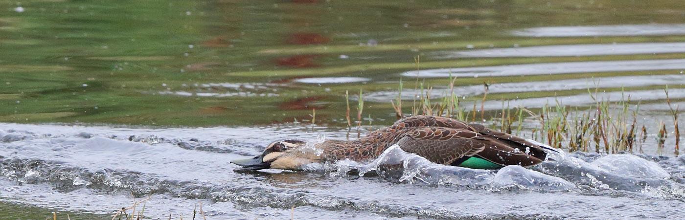 Pacific Black Duck (Image ID 28189)
