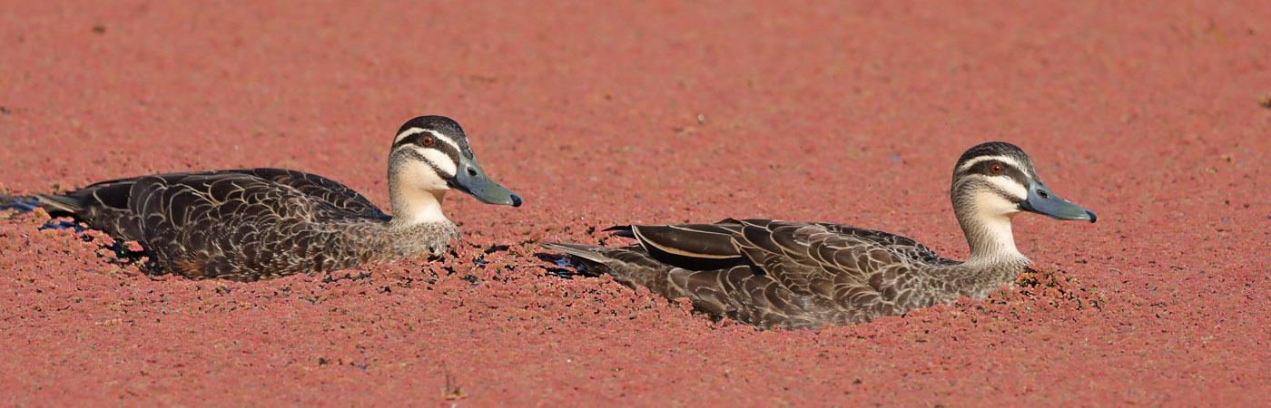 Pacific Black Duck (Image ID 28190)