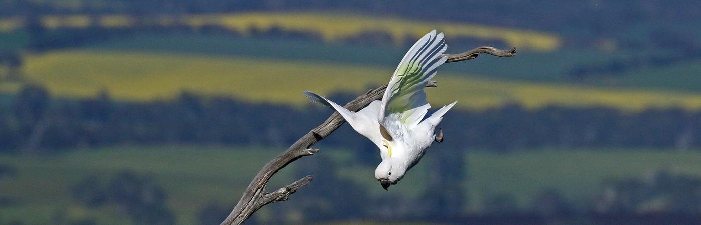 Sulphur-crested Cockatoo (Image ID 28153)