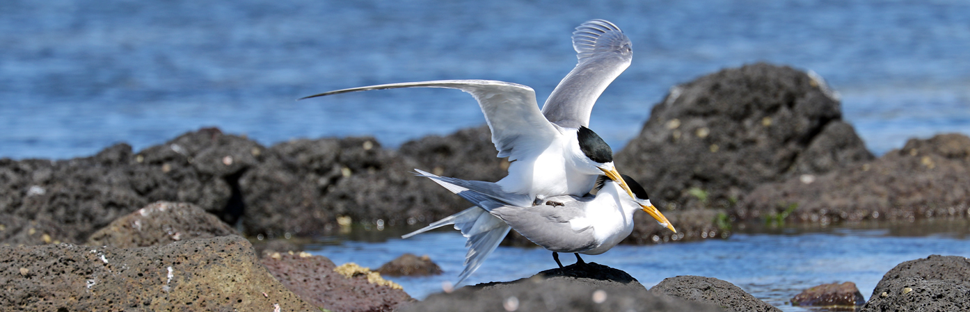 Greater Crested Tern (Image ID 28120)