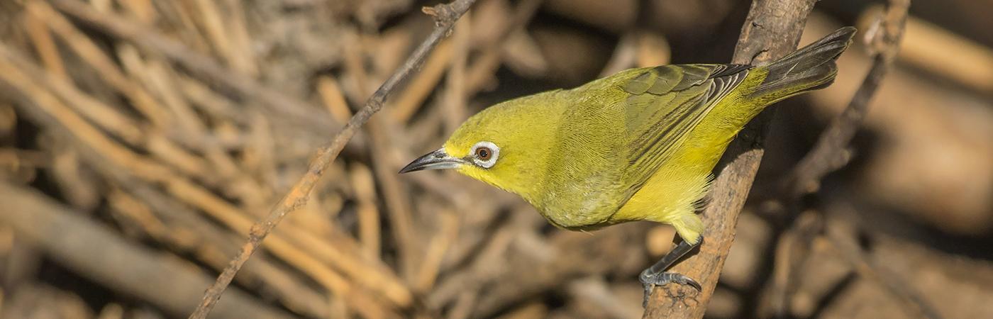Australian Yellow White-eye (Image ID 28711)