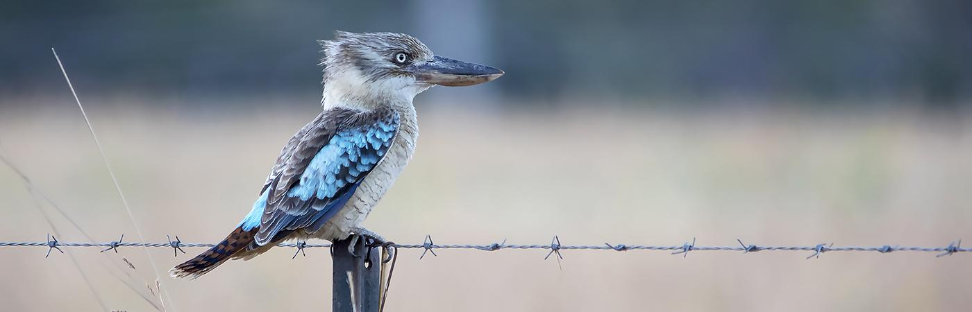 Blue-winged Kookaburra (Image ID 28835)