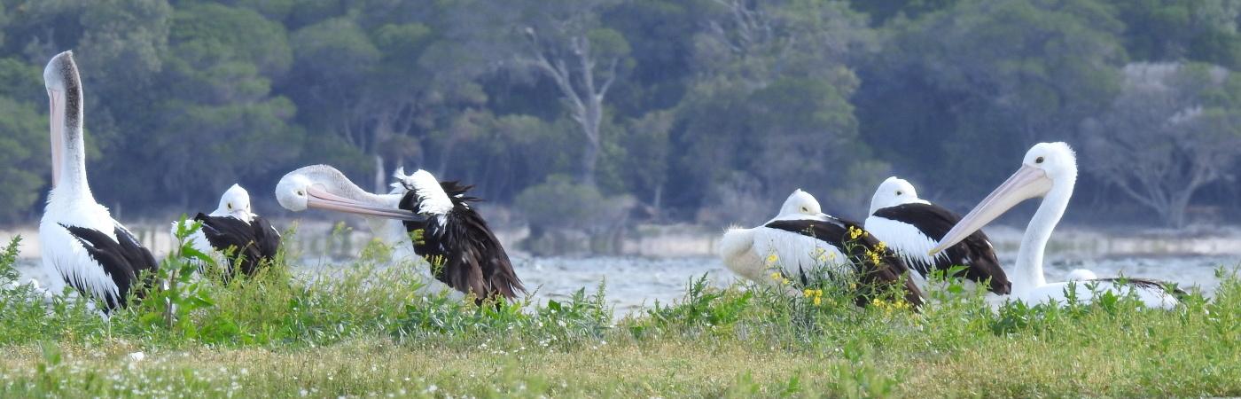 Australian Pelican (Image ID 29137)