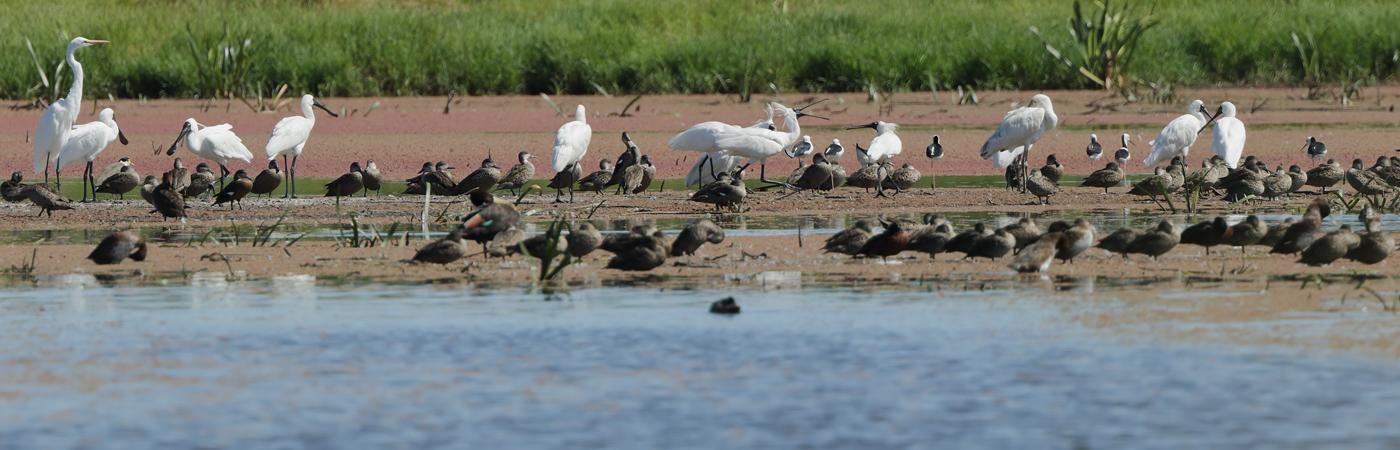 Grey Teal,Chestnut Teal,Great Egret,Royal Spoonbill,Pied Stilt (Image ID 29835)