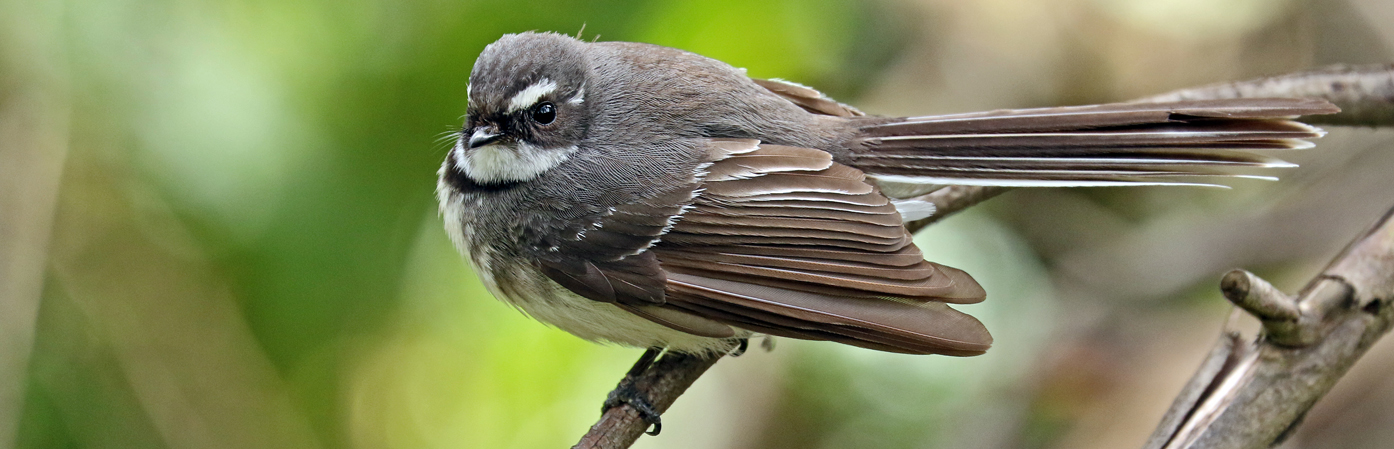 Grey Fantail (Image ID 30001)