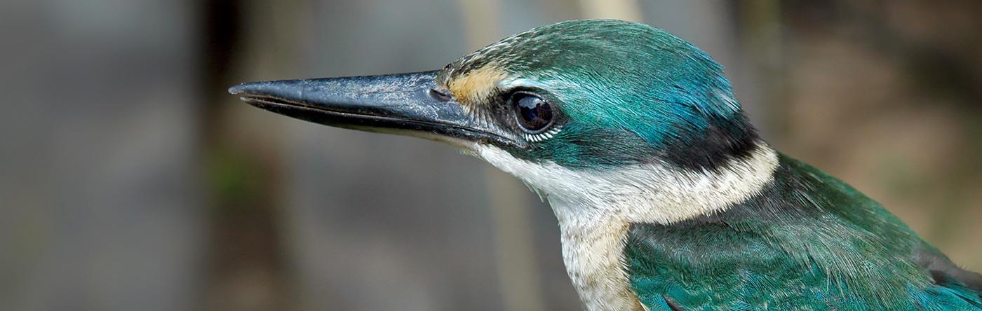 Sacred Kingfisher (Image ID 30326)