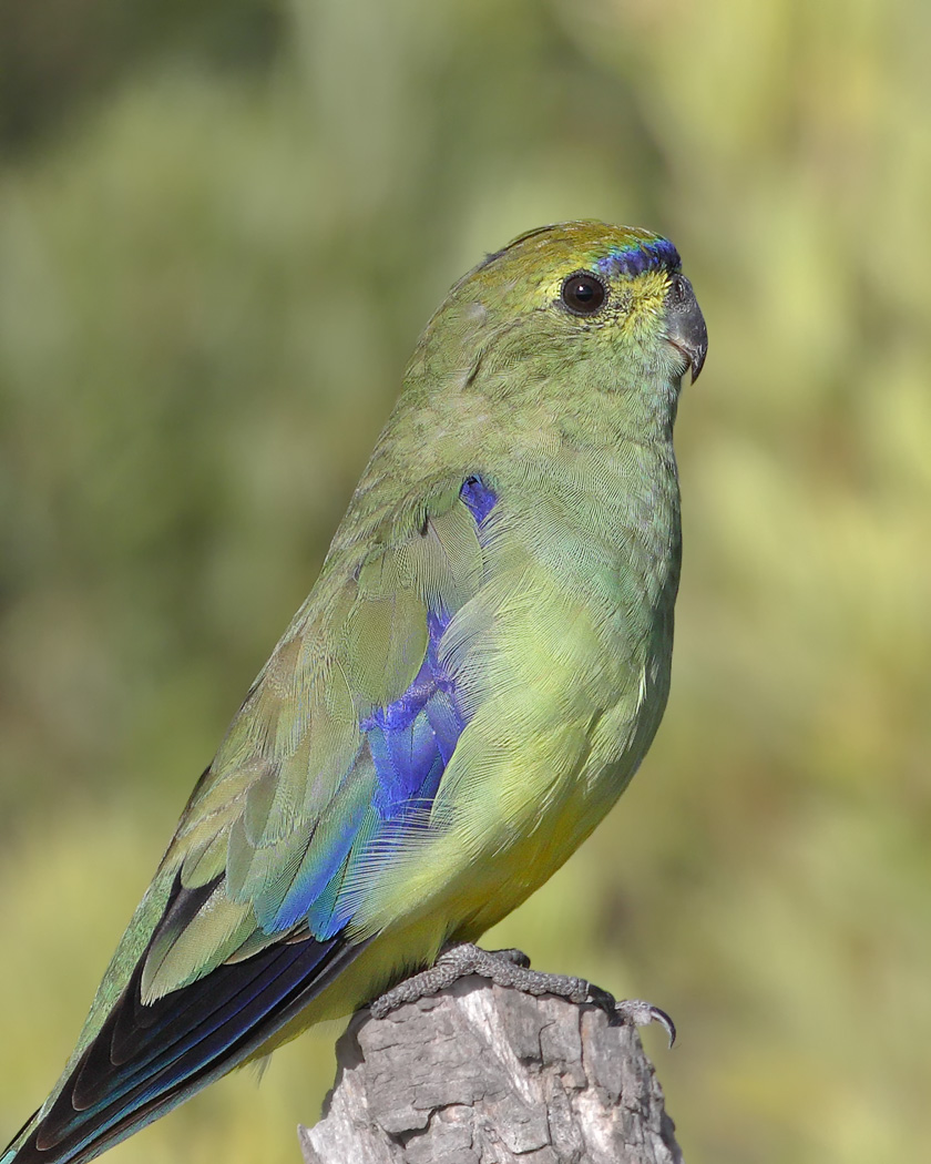 Blue-winged Parrot (Image ID 30213)