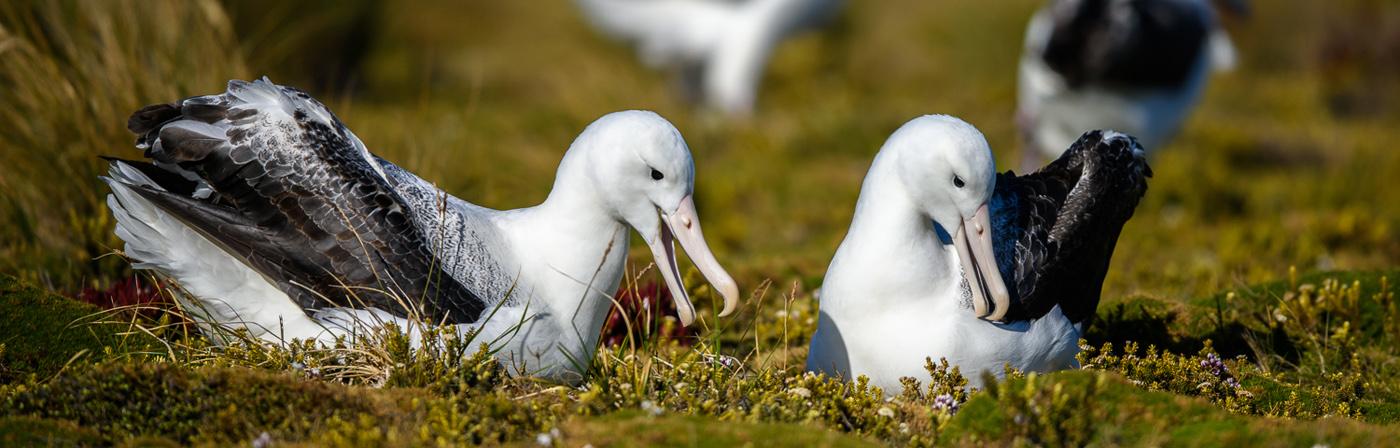 Southern Royal Albatross (Image ID 30611)