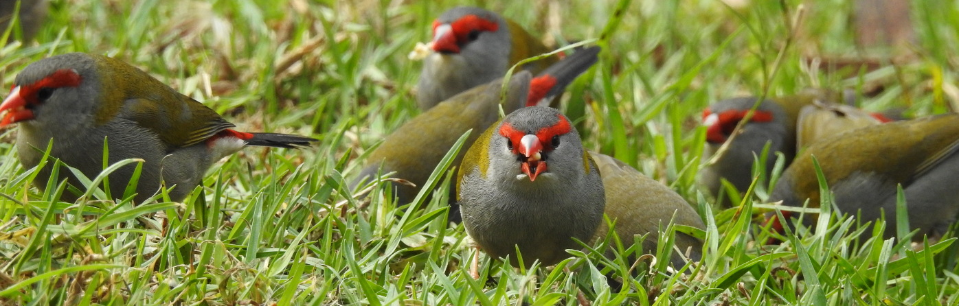 Red-browed Finch (Image ID 30944)