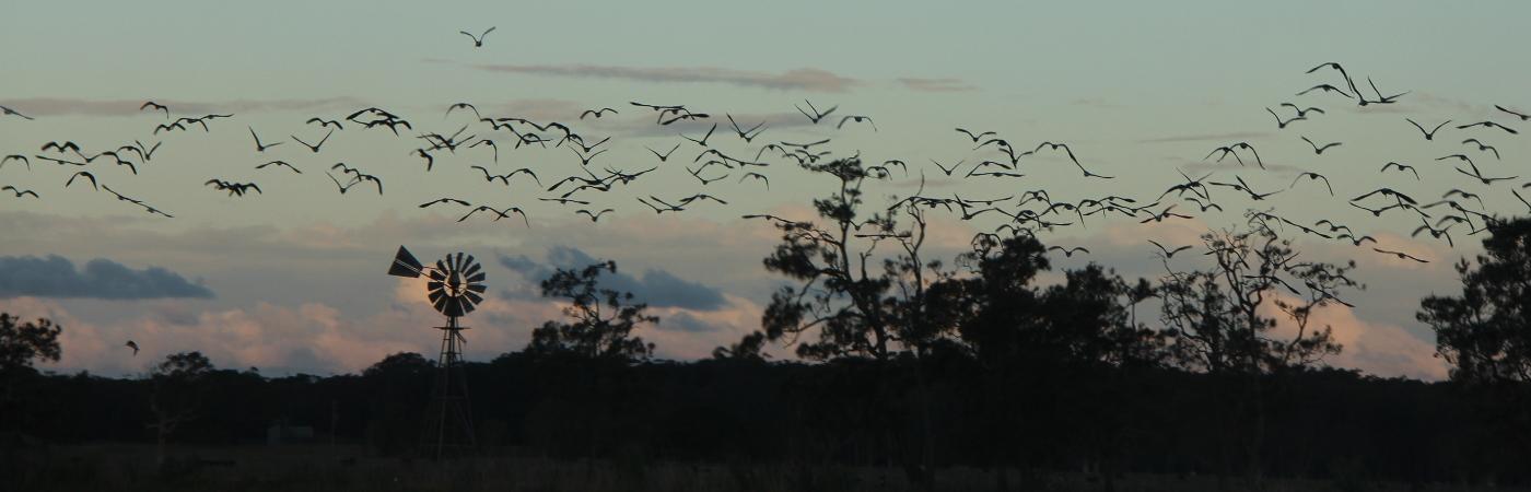 Straw-necked Ibis (Image ID 31138)