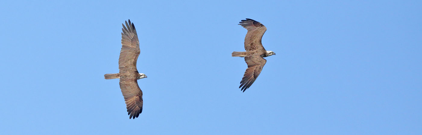Osprey (Image ID 33802)