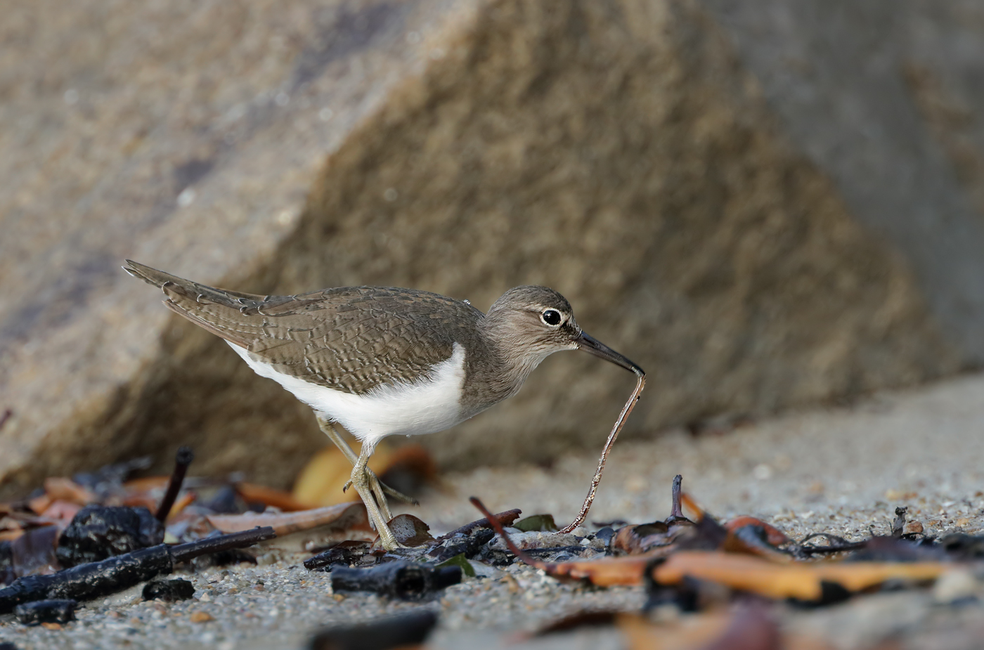 Common Sandpiper (Image ID 33500)
