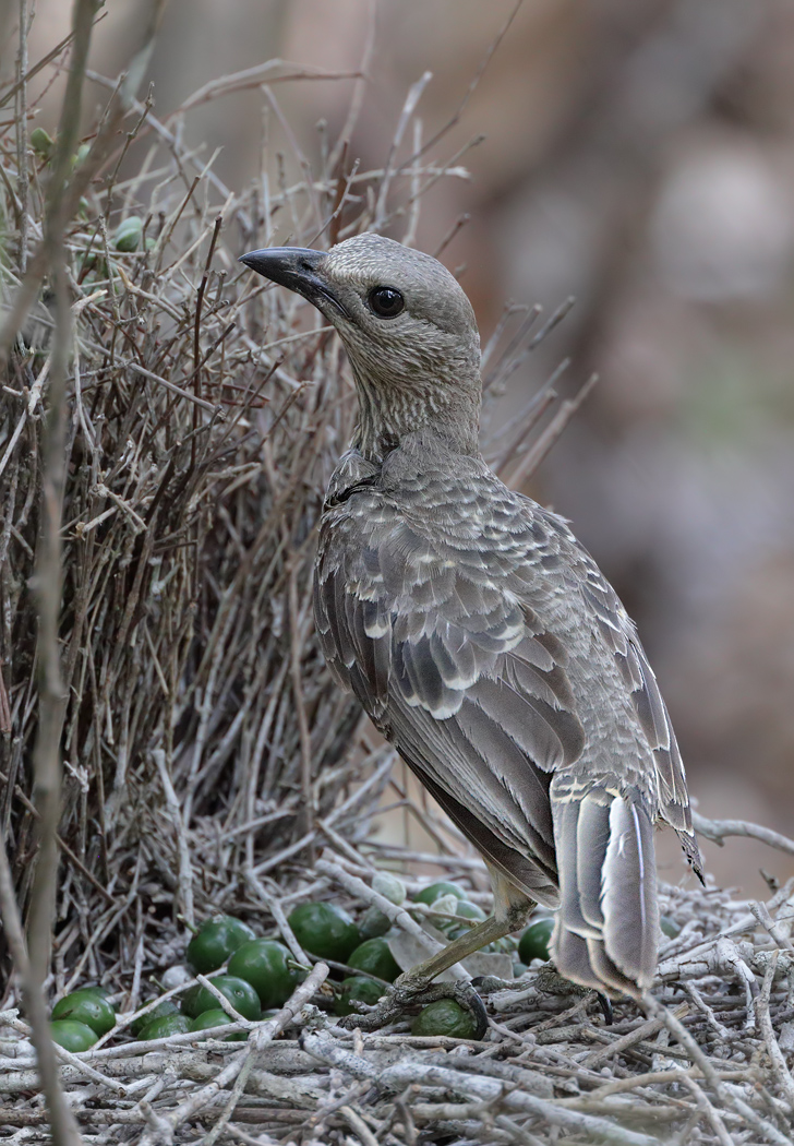 Fawn-breasted Bowerbird (Image ID 33526)
