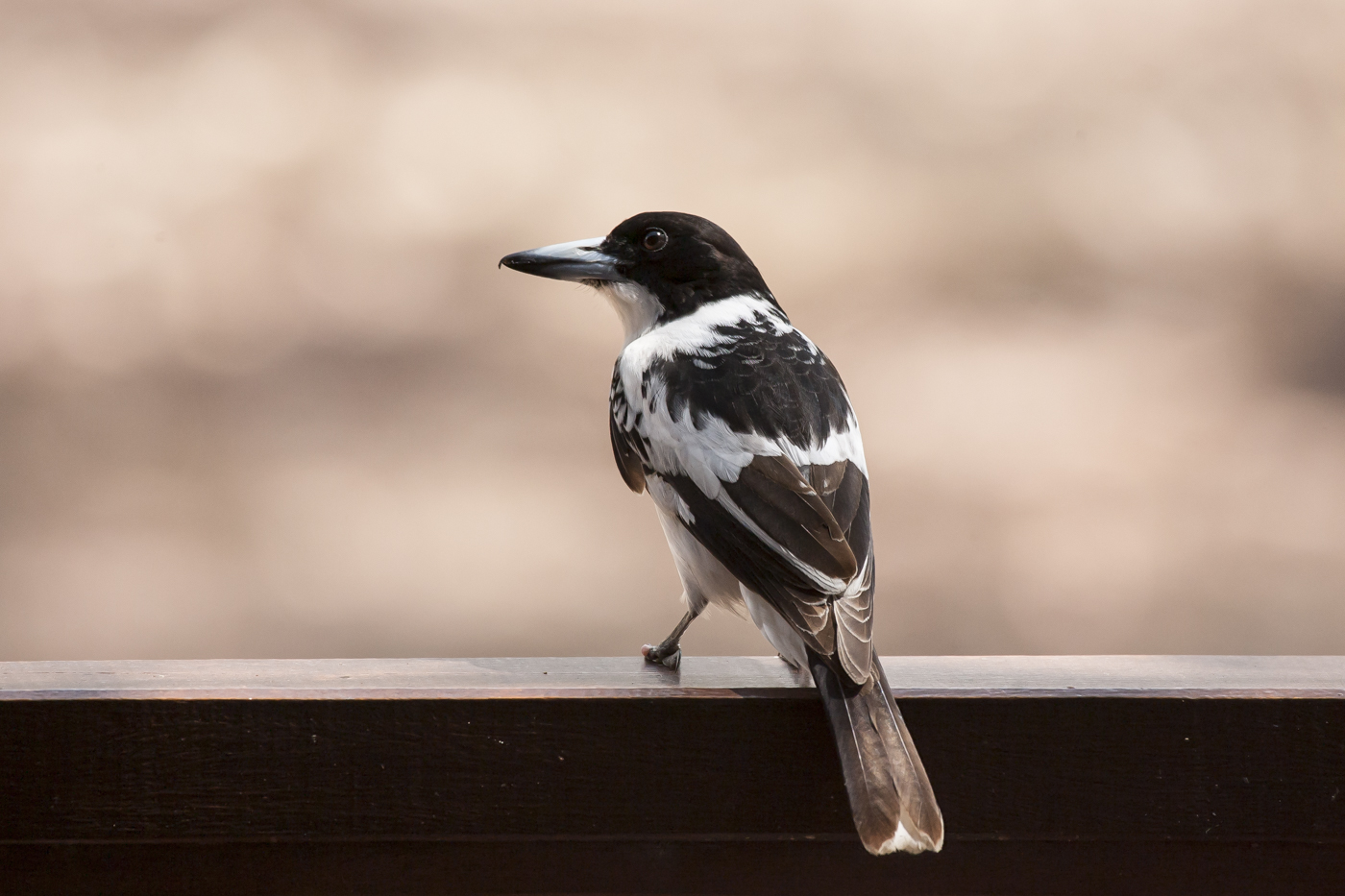Black-backed Butcherbird (Image ID 33522)