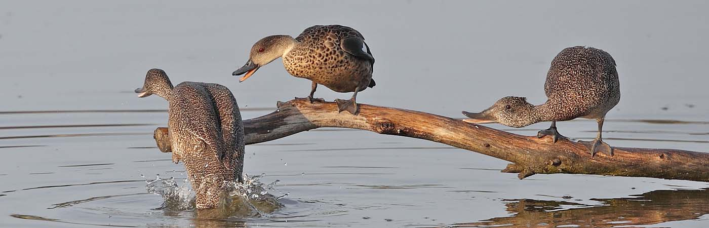 Freckled Duck,Grey Teal (Image ID 33346)