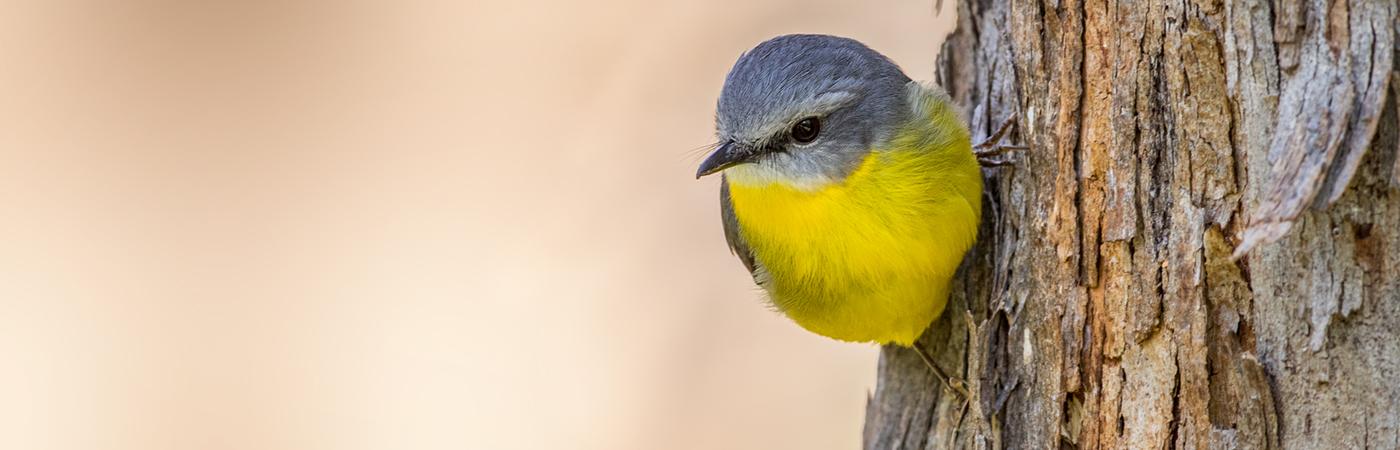 Eastern Yellow Robin (Image ID 33941)