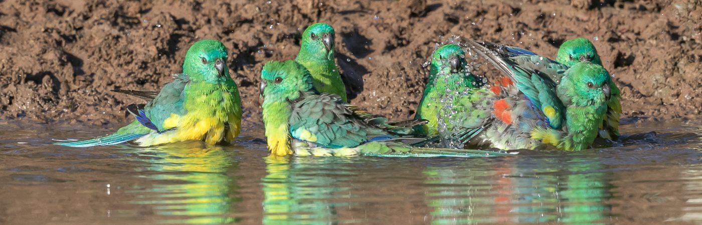 Red-rumped Parrot (Image ID 34410)
