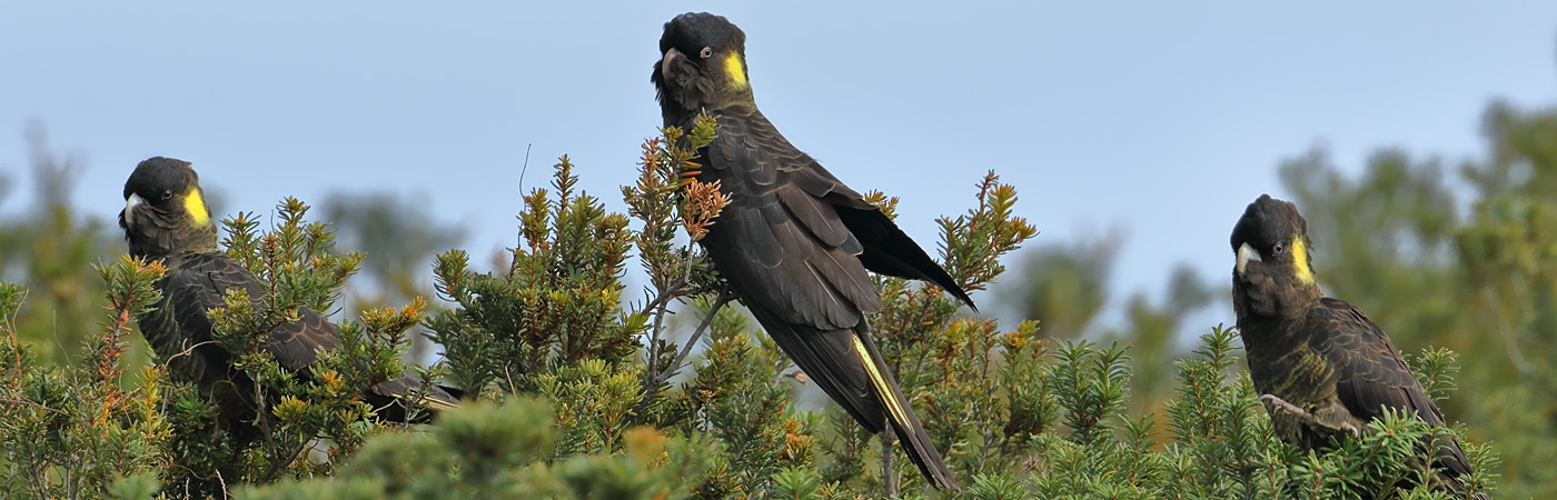 Yellow-tailed Black-Cockatoo (Image ID 34588)