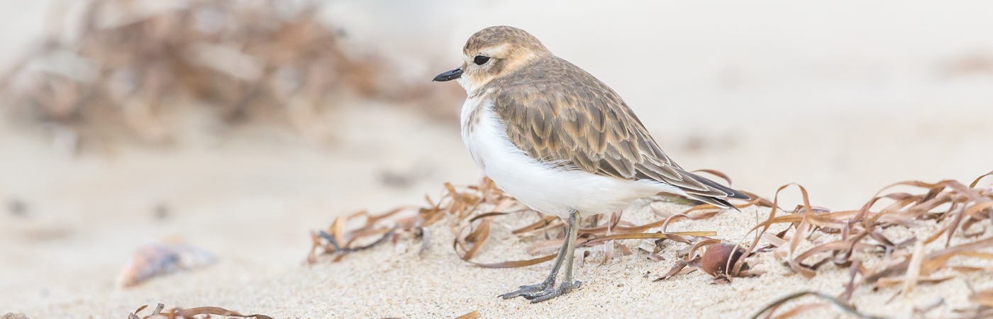 Double-banded Plover (Image ID 34676)