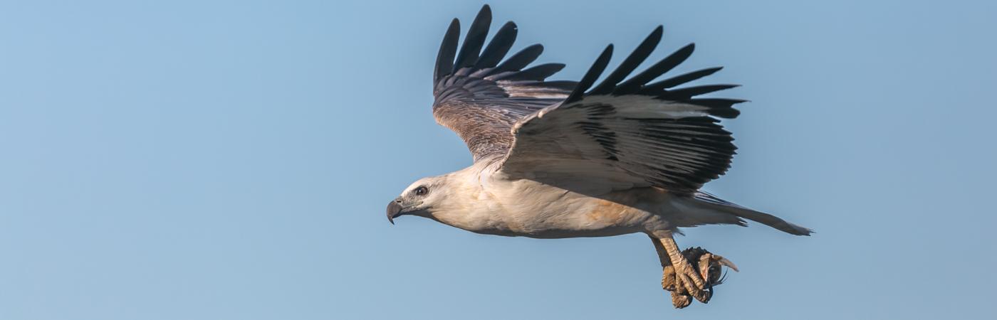 White-bellied Sea-Eagle (Image ID 34726)